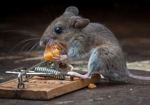 приманка для мышей на клей