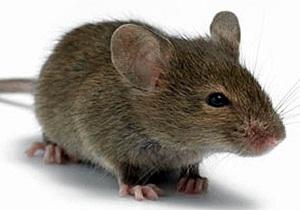 что любят мыши приманка