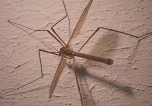 малярийные комары фото