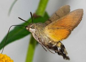 опасна ли бабочка бражник в огороде