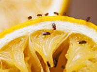 фруктовые мошки