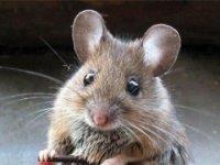 мыши в частном доме