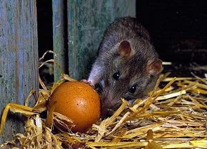 методы борьбы с крысами в курятнике