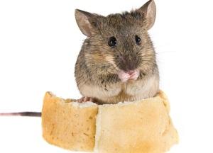 как приготовить отраву для мышей в домашних условиях