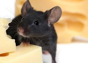 как бороться с мышами в доме