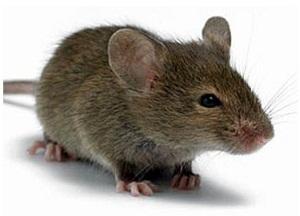 как избавиться от мышей без мышеловки