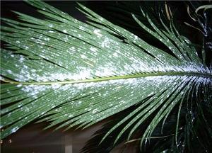 методы борьбы с мучнистым червецом на комнатных растениях