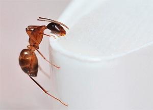 методы борьбы с рыжими муравьями в доме