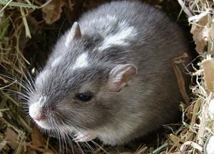 как бороться с земляной крысой на участке