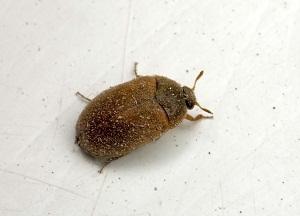 как избавиться от коричневых жучков в доме
