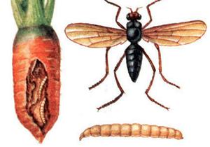 морковная муха фото