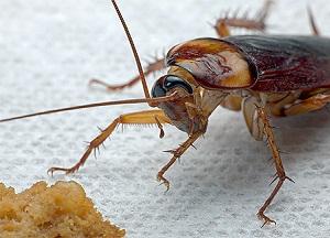как бороться с тараканами при помощи народных средств