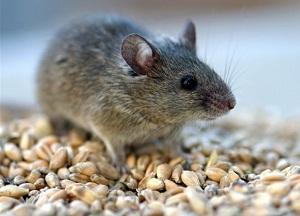 методы борьбы с мышами на даче