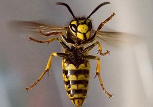 пчела и оса отличия фото