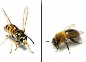 как отличить пчелу от осы