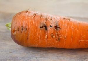 вредители моркови и борьба с ними