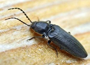 методы борьбы с жуком- щелкуном