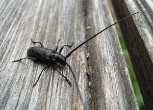 как бороться с жуками - древоточцами