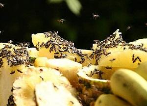 методы борьбы с фруктовыми мошками