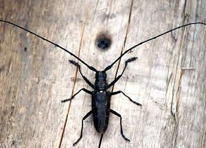 методы борьбы с жуком - усачем