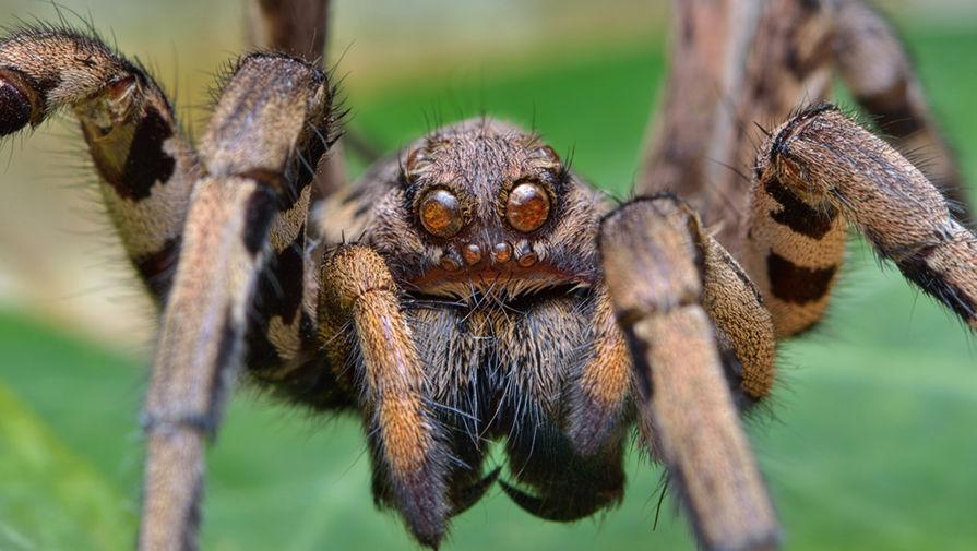паук вид