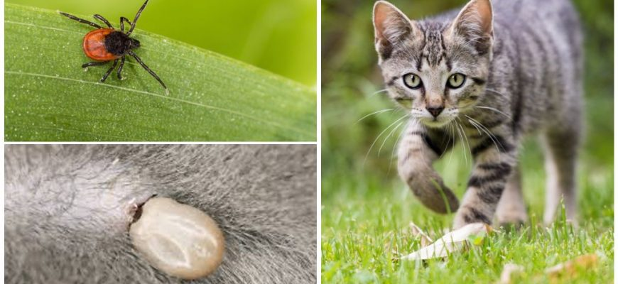 удалить клеща у кошки