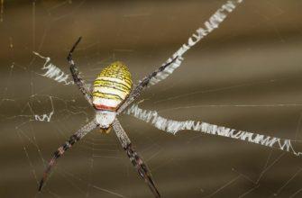 крестообразный паук Святого Андрея