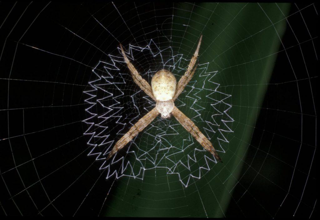 8 необычных фактов о крестообразном пауке Святого Андрея, которые вы точно должны знать