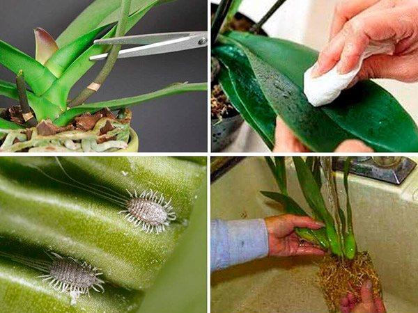 Вредители комнатных растений - мучнистый червец