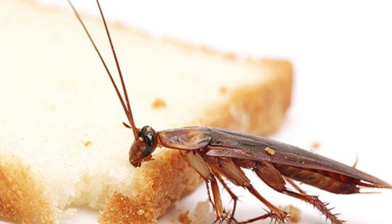 Уничтожение тараканов, как проводится профессиональная дезинсекция