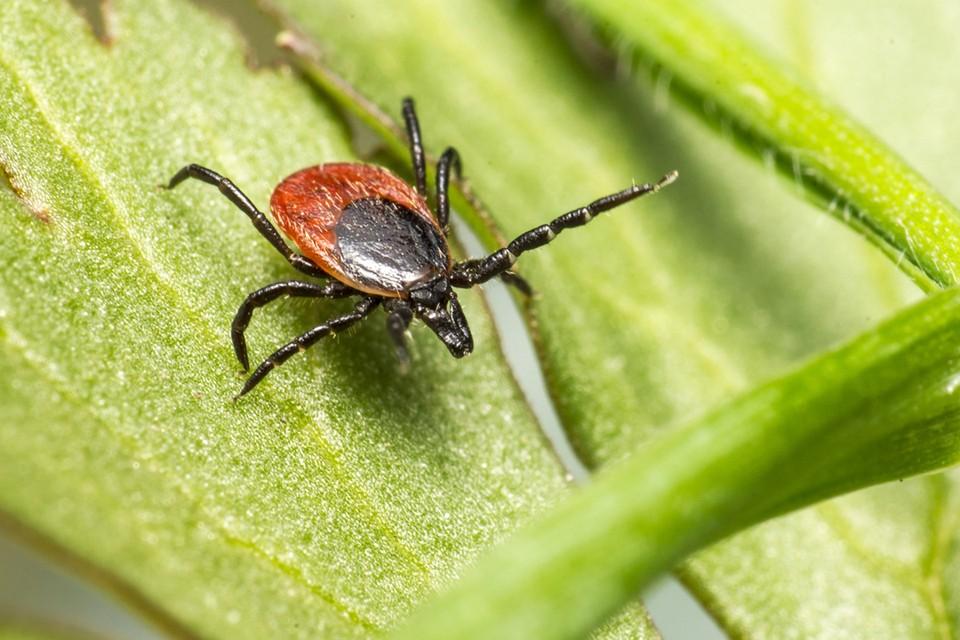 Клещи – кровососущие паразиты, как избавиться в доме и на участке?